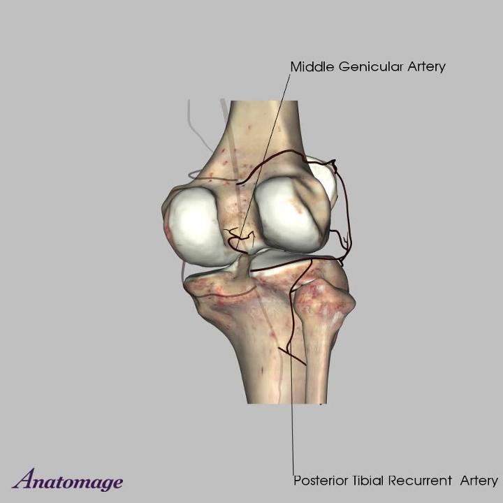 Vasculature of the Knee