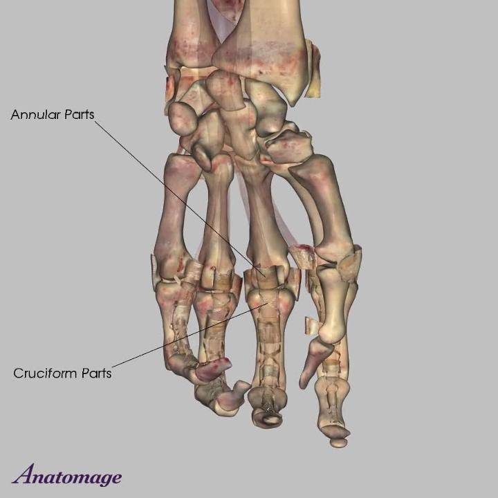 Ligaments of the Forearm