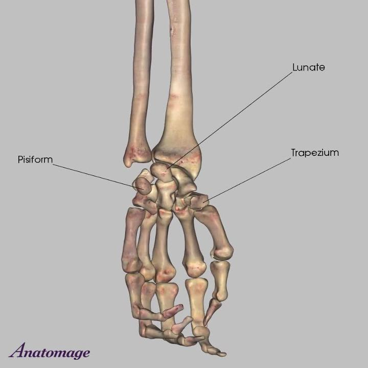 Bones of the Forearm
