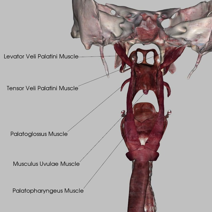 Muscles of the Pharynx