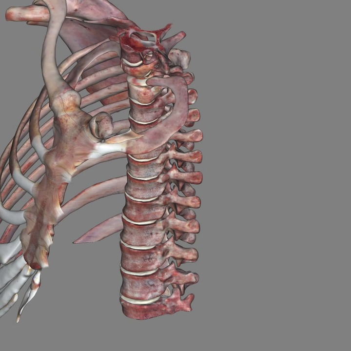 Thoracic Skeletal Anatomy