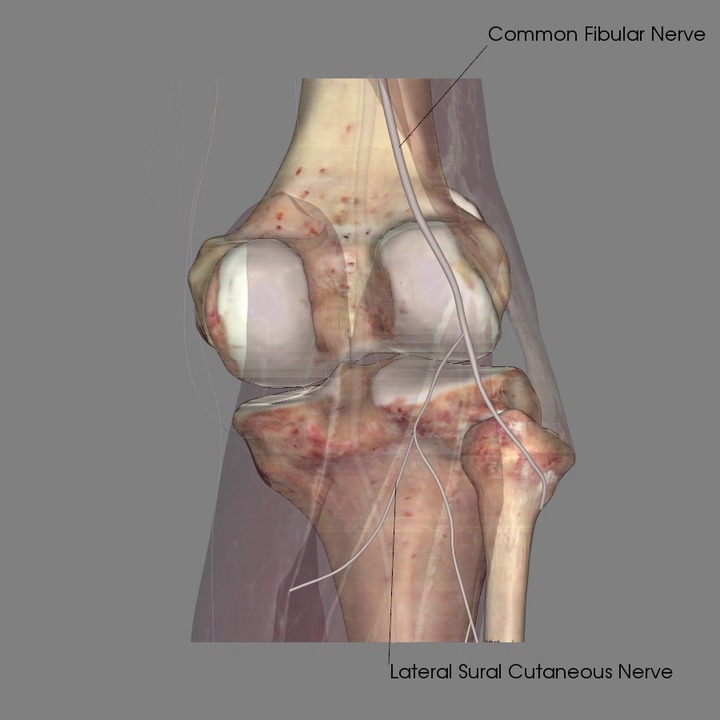 Nerves of the Knee