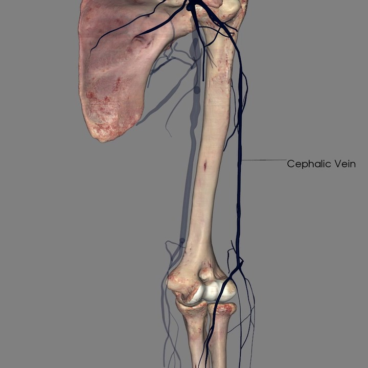 Veins of the Shoulder